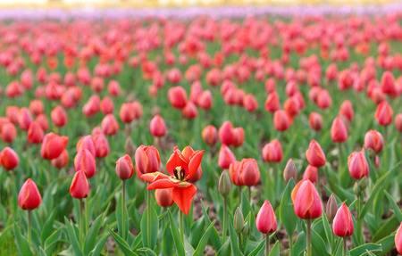 75524090 primo piano dei fiori dei tulipani - Fra i tulipani di Lubiana Visita alla grande fiera di primavera - 27 Aprile - ULTIMI POSTI!